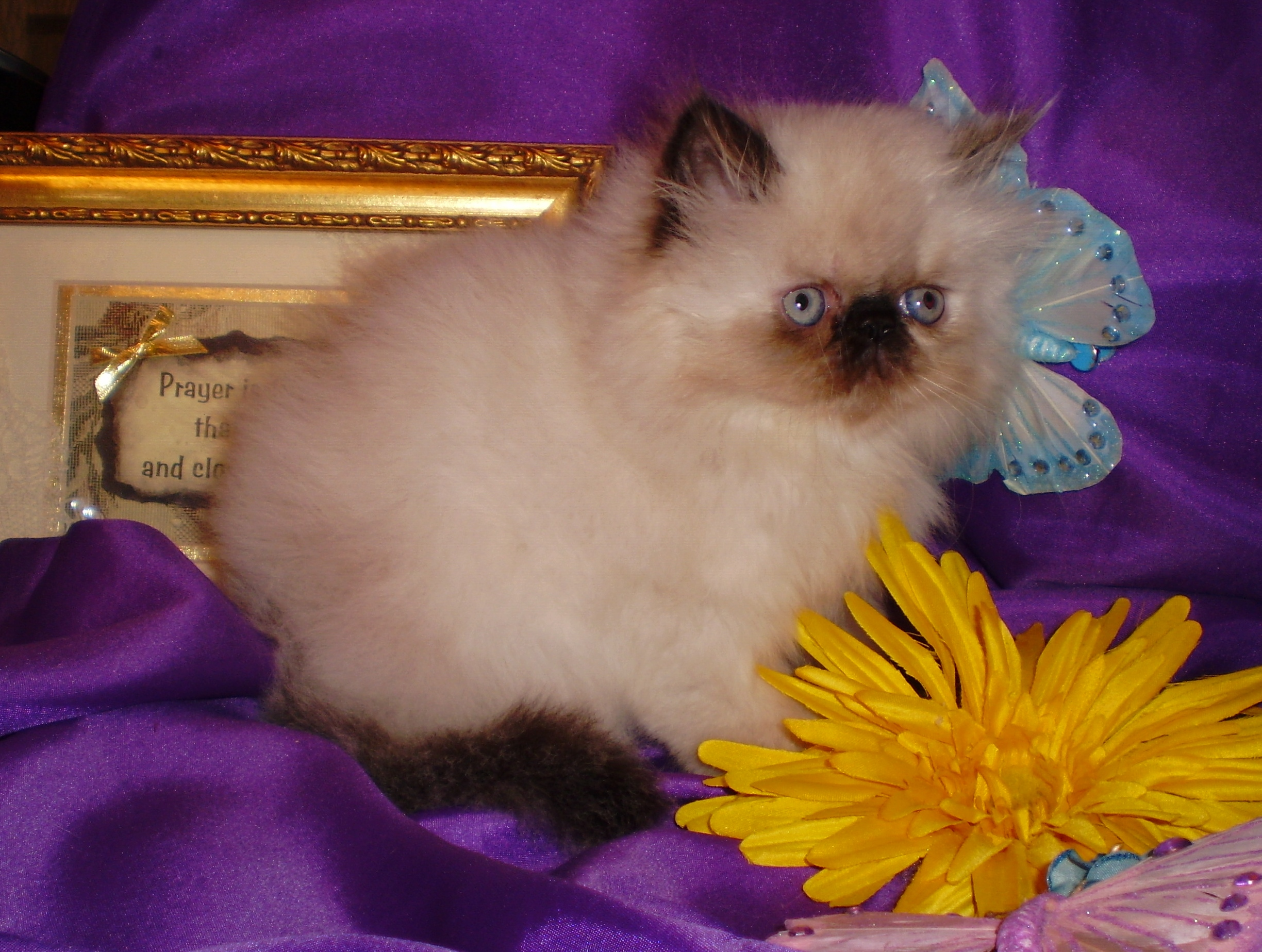 Himalayan Persian Kittens Adults For Sale